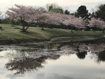 Cherry Blossoms 2